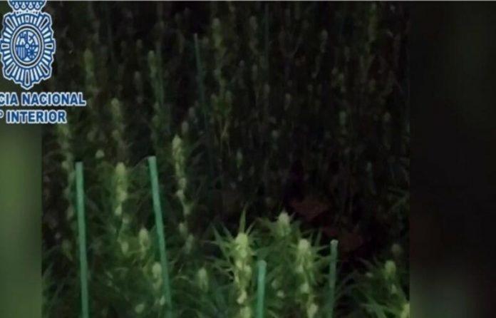Amenaza técnico cultivando marihuana